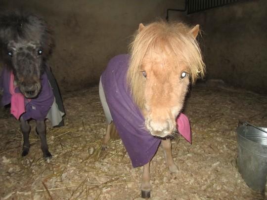 Очень маленькие лошади
