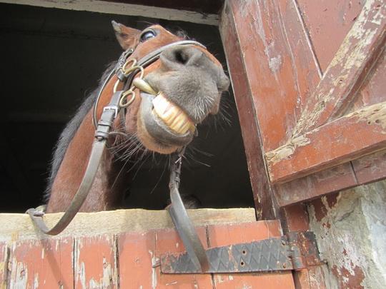 лошадь улыбается